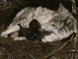 Ten-Day-Old Gray Wolf Pup  Canis Lupus  Nuzzles It's Sitter's Nose