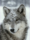 Dusting of Snow Lies on the Face of a Gray Wolf  Canis Lupus
