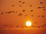 Birds in Flight Against Sunset Sky  Wattenmeer National Park  Germany
