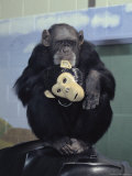 Captive Chimpanzee Holds a Chimp Mask