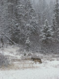 Gray Wolf  Canis Lupus  Walks in a Wintry Snow-Filled Landscape
