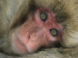 Portrait of a Japanese Macaque  or Snow Monkey