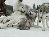 Group of Gray Wolves  Canis Lupus  Rally Together