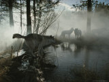 Group of Gray Wolves  Canis Lupus  Pass By a Foggy Pond in a Forest