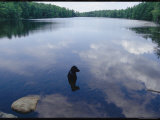 Black Lab Named Blackie Sits in a Woodland Lake