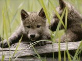 Five-Week-Old Gray Wolf  Canis Lupus  Climbs Over a Fallen Log