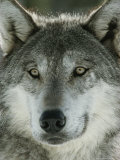 Close View of the Face of a Gray Wolf  Canis Lupus