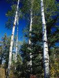 Soaring Aspen Trees in Whiteshell Provincial Park