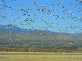 Sandhill Cranes and Snow Geese Take Flight Together