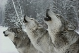 Trio of Gray Wolves  Canis Lupus  Howl in Unison