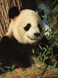 Close View of a Panda Eating Bamboo
