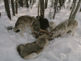 Pack of Gray Wolves  Canis Lupus  Feast on the Carcass of an Elk