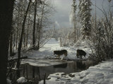 Two Gray Wolves  Canis Lupus  Stop at a Creek in a Snowy Forest