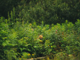 Red Fox  Vulpes Vulpes  Peers Out From a Batch of Wildflowers