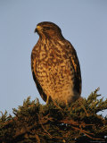 Portrait of a Red Shouldered Hawk