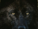 Black-Colored Gray Wolf  Canis Lupus  Stares with Golden Eyes