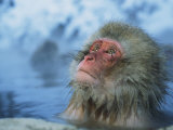 Japanese Macaque  or Snow Monkey  Soaking in a Hot Spring