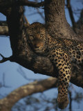 Leopard Rests in the Fork of a Tree Trunk