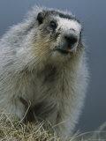 Hoary Marmot  Denali National Park  Alaska