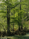 Cypress Trees with Knees Growing in a Swamp