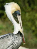 Side View of a Pelican