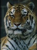 Portrait of Khuntami  a Male Siberian Tiger