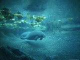 Pair of Manatees Swim Beneath the Kelp