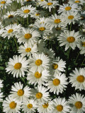 Close View of Daisies