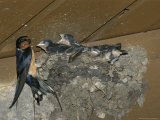 Barn Swallow Mother Feeds Her Young