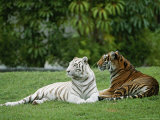 Two Bengal Tigers Lie Down in the Grass