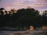An Alert Leopard Rests on a Large Rock at Twilight