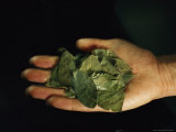Coca Leaves Rest in a Person's Hand