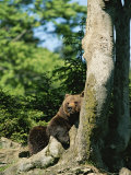 Brown Bear Relaxes Against a Tree