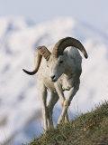 Dall's Sheep  Ram  Denali National Park  Alaska