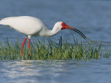 White Ibis  Breeding Plummage  Ft Desoto  Florida