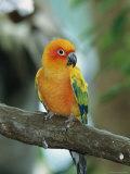 Sun Conure Parrot  Captive