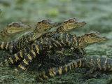 American Alligator Babies on Log  Texas