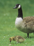 Canada Goose Watches Over Her Gosling as It Feeds on Grass