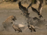 Spotted Hyena and White-Backed Vultures Duel over a Carcass
