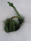 Young Evergreen Tree Doubled over in Deep Snow