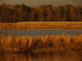 Autumn View of Canada Geese on a Freshwater Marsh at Twilight