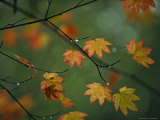 Detail of Vine Maple Leaves in Autumn Colors