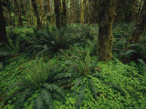 Woodland Rain Forest View with Mosses  Ferns  and Wood Sorrel