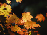 Vine Maple Leaves To Displaying Bright Autumn Colors