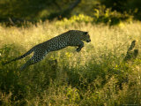 Leopard Leaping Through Tall Grass in Shaded Light