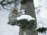 Snow-Covered Japanese Macaque Perched in a Tree