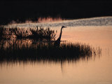Silhouette of a Great Blue Heron  Ardea Herodias  at Sunset
