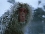 Snow-Covered Japanese Macaque Sitting Near a Hot Spring