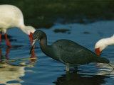 Little Blue Heron Hunting For Food Alongside White Ibises