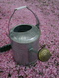 Garden-Watering Can on a Pink Sea of Fallen Cherry Blossoms